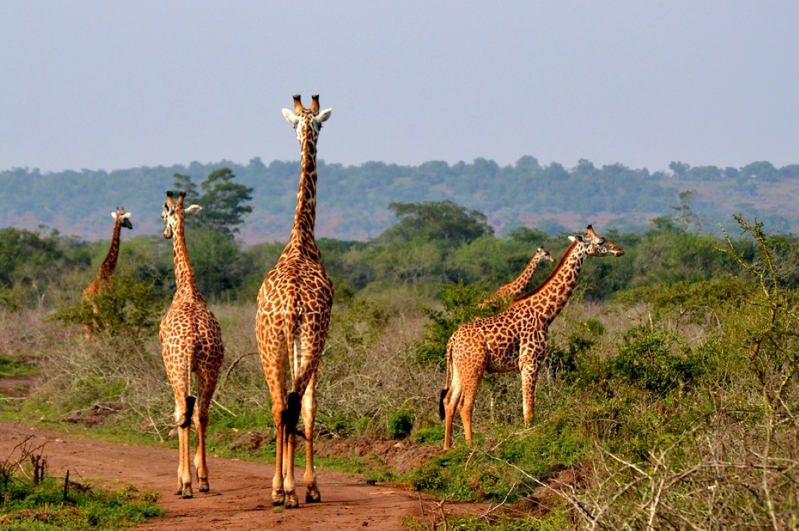 Akagera National Park giraffes
